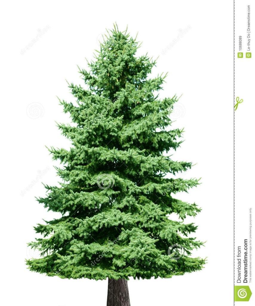 Pine Tree - Lessons - Tes Teach